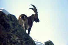 Steinbock004
